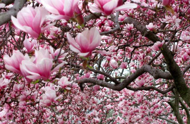 saucer-magnolia-thp