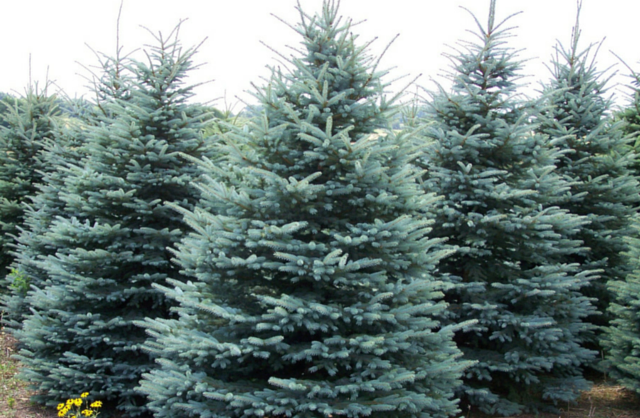 colorado-blue-spruce-thp